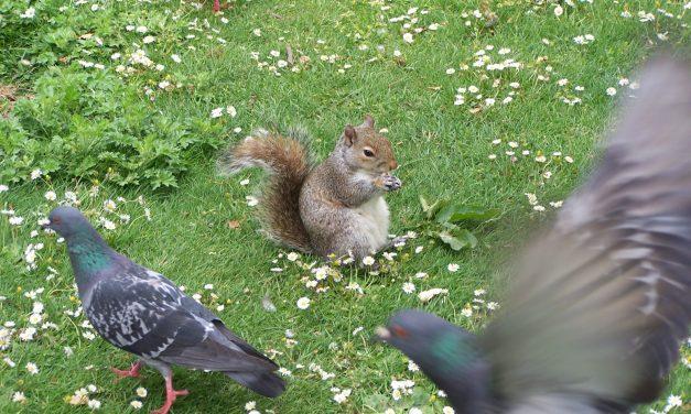 A szürke mókus nem cuki!