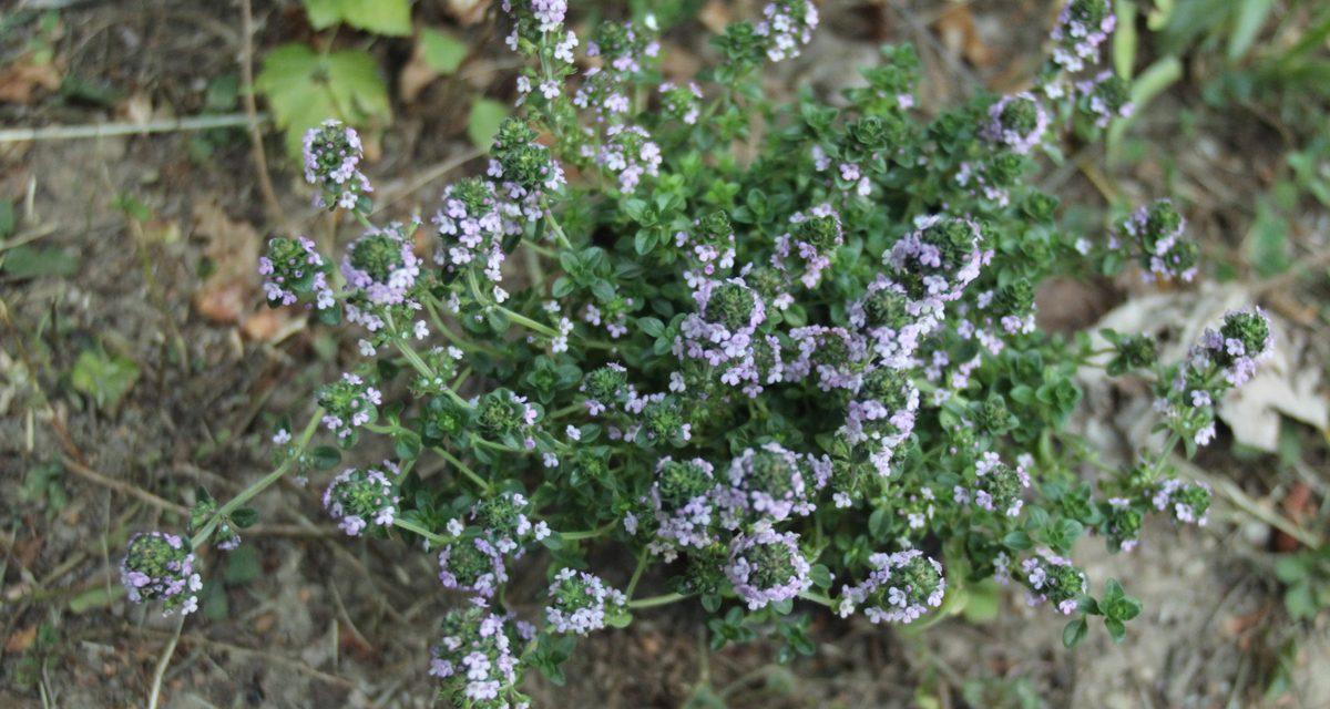 Néha virágozhat a fűszernövény is