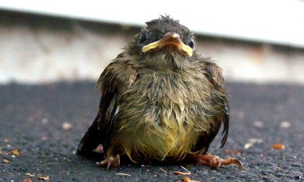 Megmentsük-e a madárfiókákat?