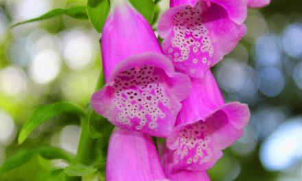 A legszebb kétnyári virágok