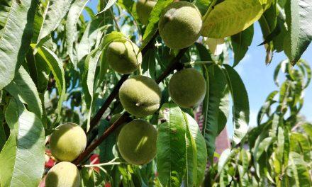 Nyári gyümölcsfa-tuning: ilyen is van
