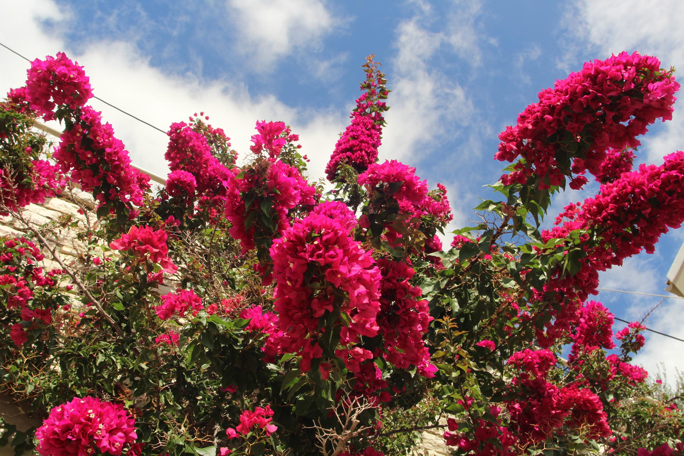 A bugenvillea vagy más néven murvafürt már márciustól virágzik b18add9775