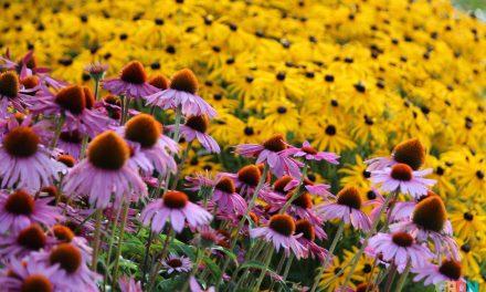 Különösen szép évelők ősz elejére