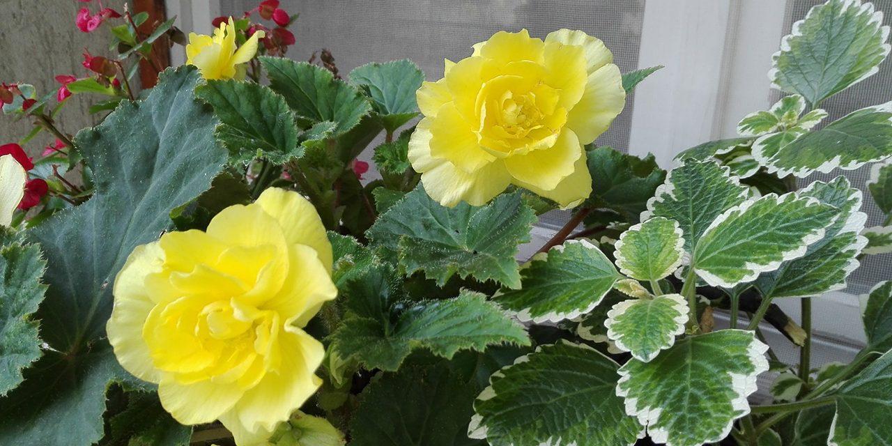 Virágzó balkonláda vaksötét helyekre. A MEGOLDÁS!