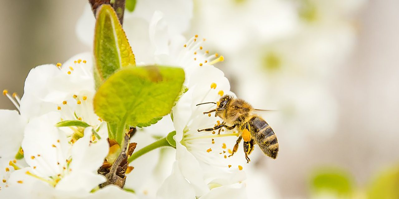 méhek kezelése pikkelysömörhöz)