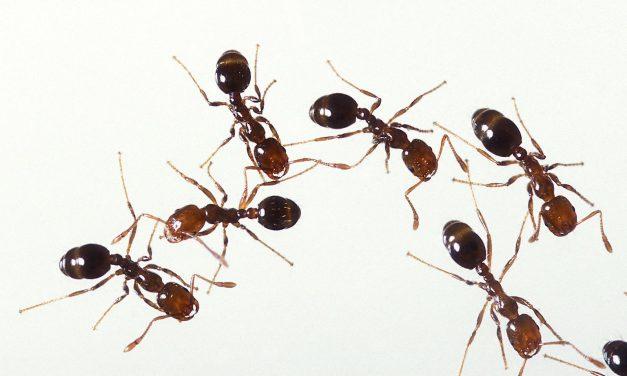 Hangyák ellen házilag