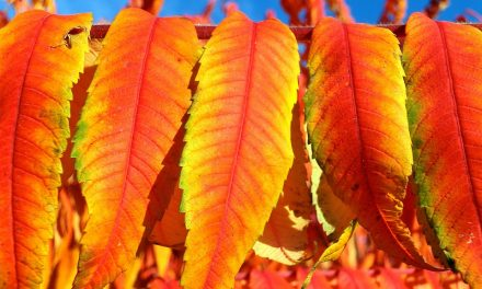 Ezek a legszebb cserjék őszre