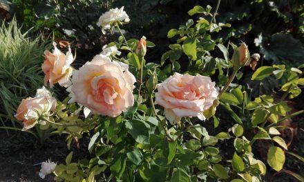 Rózsák ridegtartásban