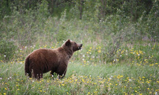 Már nálunk is vannak medvék! Így készülj a kirándulásra