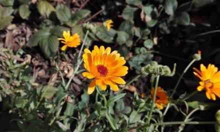 Méhlegelőt minden kertbe