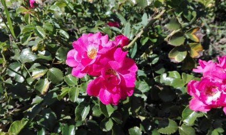 Te mersz venni ennyire olcsó rózsatövet?