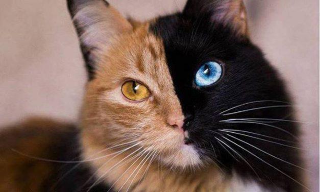 Quimera, a kétarcú macska most az Instagram legmenőbb cicája