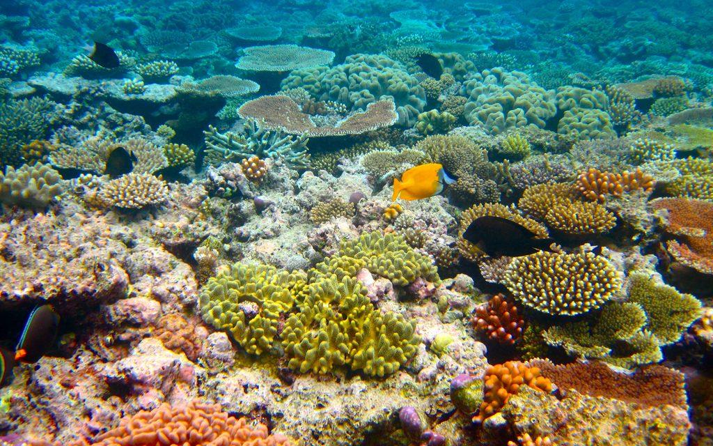 Sikerült a korallátültetés, megmenekülhet az ausztráliai Nagy-korallzátony