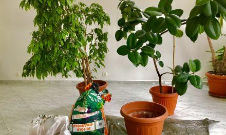 Két csaj és a fikusz esete, avagy hogyan ültess át túlméretes növényeket