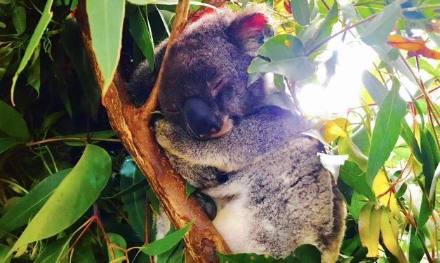Cukiságtúladagolás: az álomszuszék koala, a rapper kenguru és az árva kisdenevér