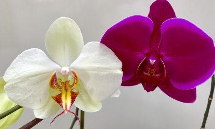 Nem virágzik az orchideád? Itt a biztos recept, hogy rávedd