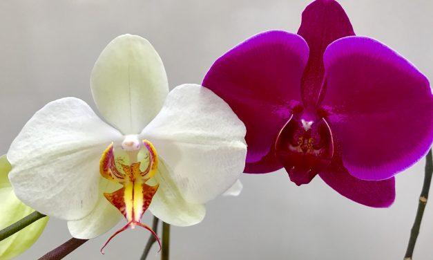 Nem virágzik az orchideád? Íme a biztos recept, hogy rávedd