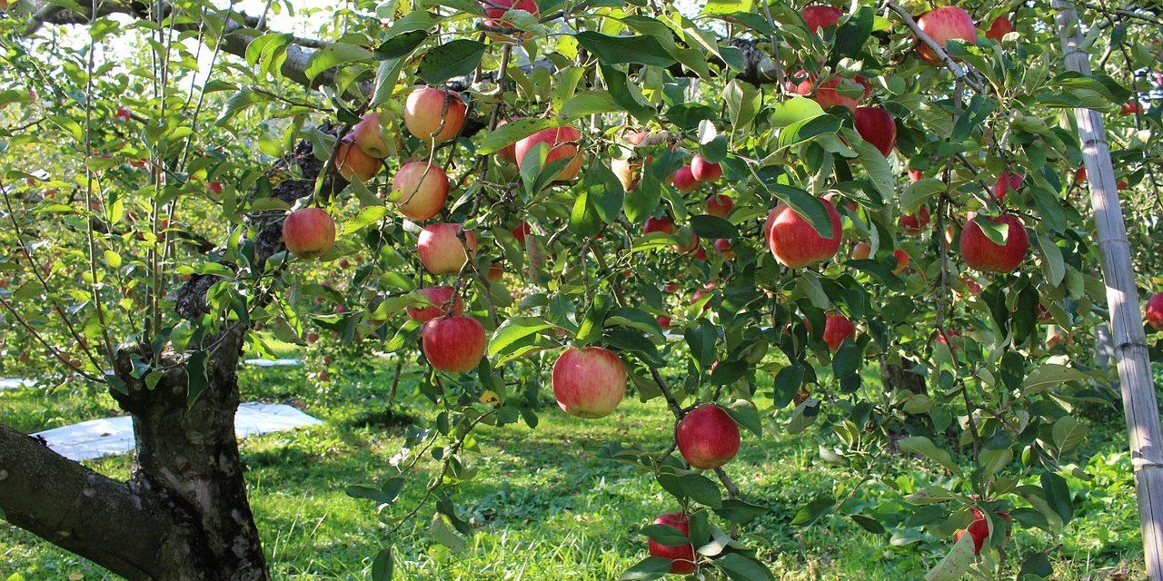 Protestáns almafák lepik el az országot