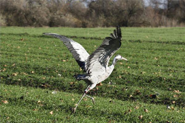 A Szegedi Vadasparkban ápolt darvat engedtek vissza a természetbe