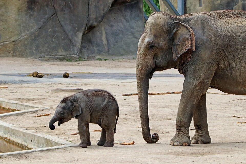 Izgalmas videó készült a budapesti kiselefánt születéséről