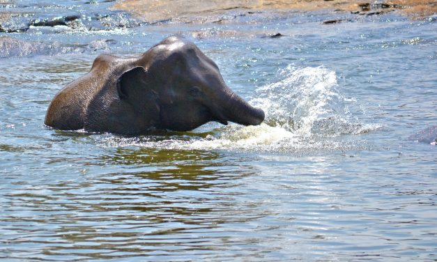 Mit csinál egy elefántborjú a víz alatt?