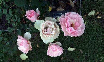 A rózsakert őszi búcsúcsókja