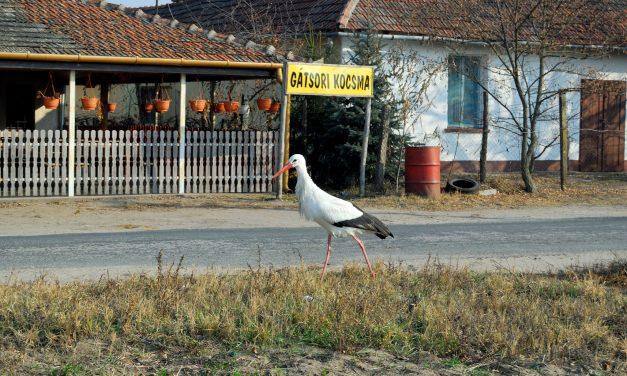 Afrika helyett a kocsmát választja az ásotthalmi gólya