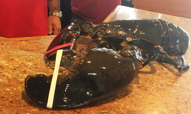 A 132 éves homár 20 éve élt egy akváriumban, amikor megtörtént a csoda