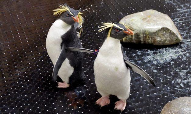 A bécsi állatkert mentett pingvineket fogadott be