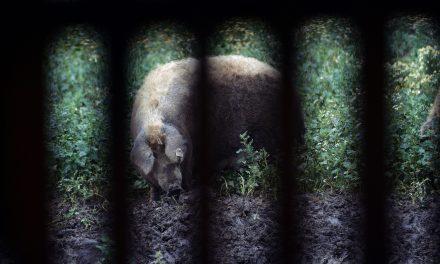 Magyar mangalica egy brit állatpark új sztárja