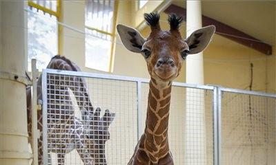 Ma már úgysem látsz cukibbat, mint a debreceni zsiráfbébi