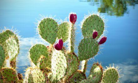 Többet tud a kaktusz, mint gondolnád: belőle lehet a század haszonnövénye