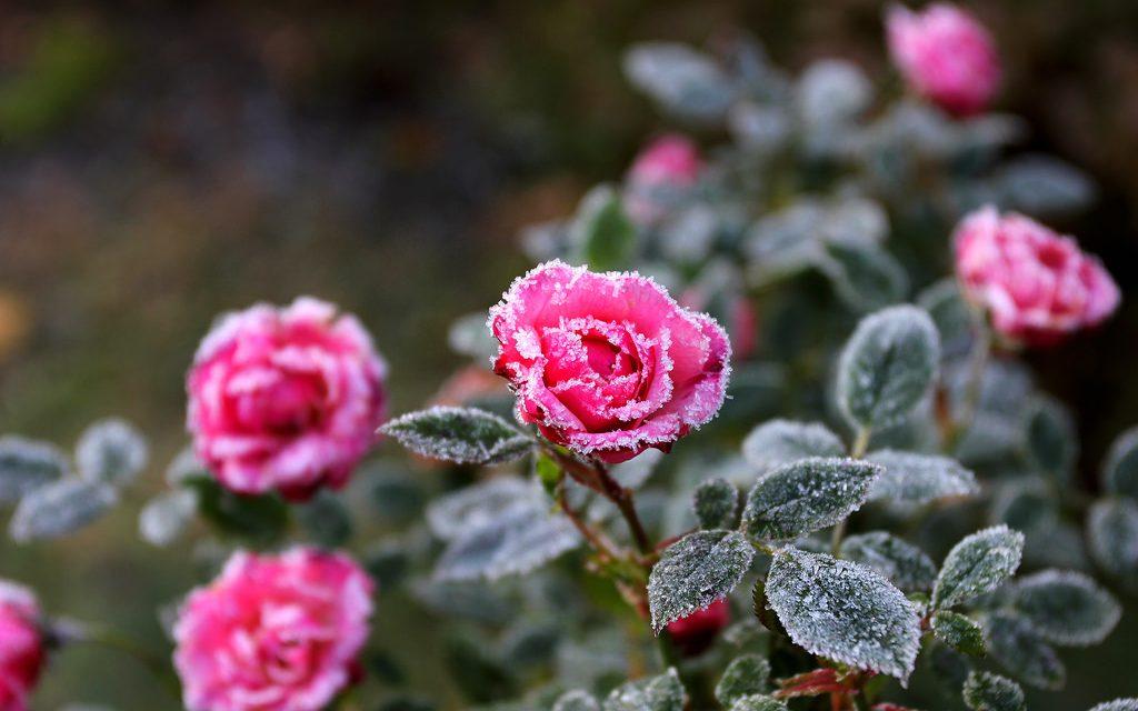 Hamarosan befagy a rózsák feneke
