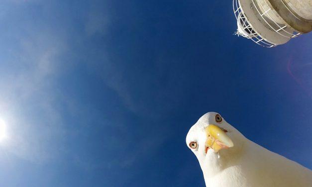 Így készül az élő drón: kamerát lopott a sirály