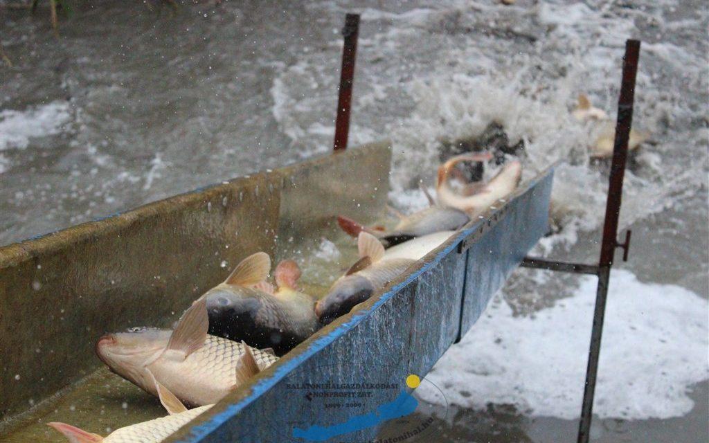 300 ezer kilónál is több halat telepítettek a Balatonba