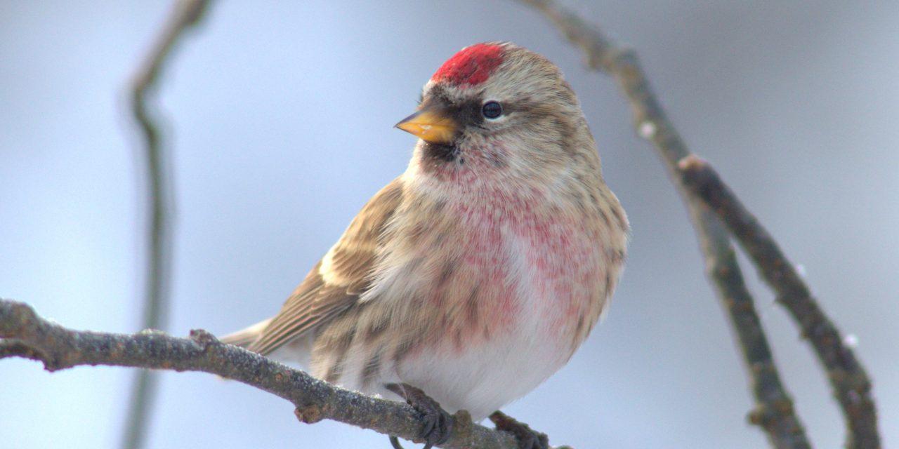 Tudja, mi az a piros sipkás madár a kertjében? Jönnek a zsezsék!