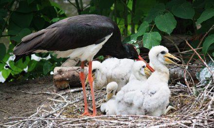 Fára másztak, fészket raktak, jöhetnek a gólyák