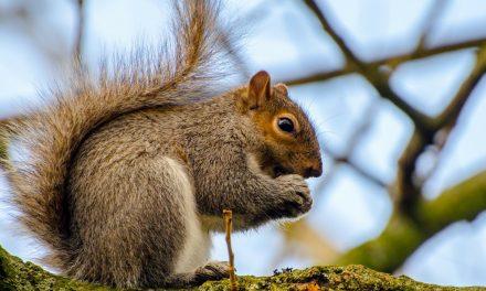 Miért dörzsöli össze a mancsát a mókus?