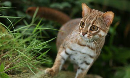 Kis méret, nagy bátorság: tenyérnyi a világ legkisebb vadmacskája