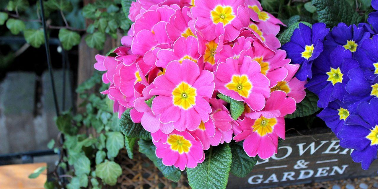 "A primula nem ""egytavaszi"" virág"