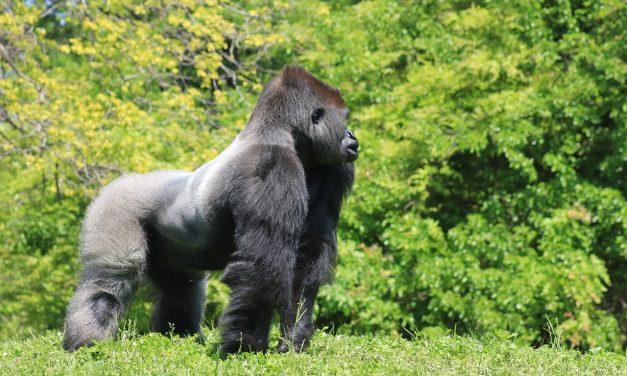 A gorilla apa, aki beállt az út közepére, hogy megvédje a családját