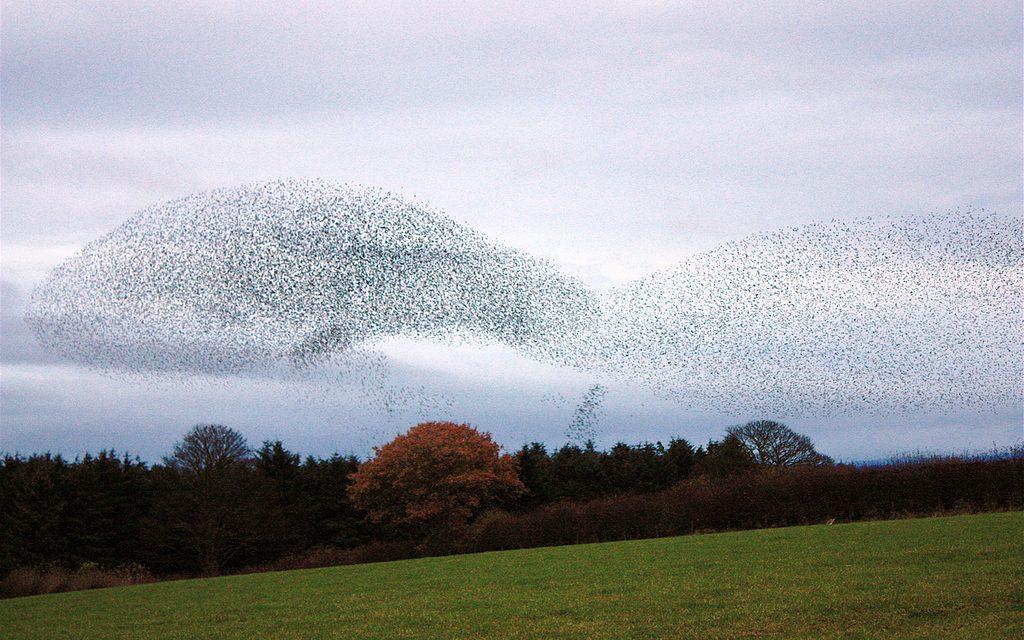 Mik ezek a megbabonázó videók furcsa alakzatban mozgó madárrajokról?