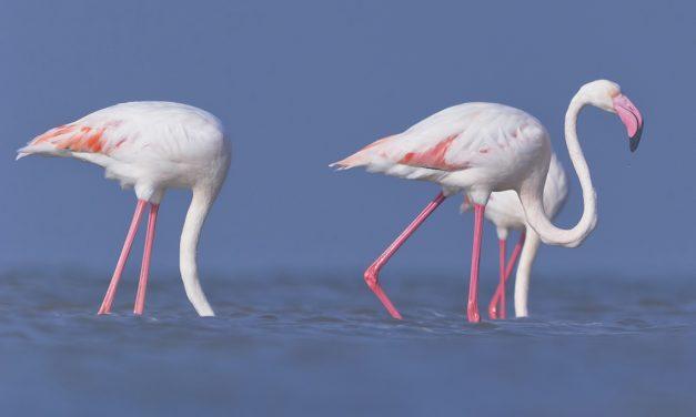Madarasok, itt az álommeló: flamingó főnököt keresnek a Bahamákra