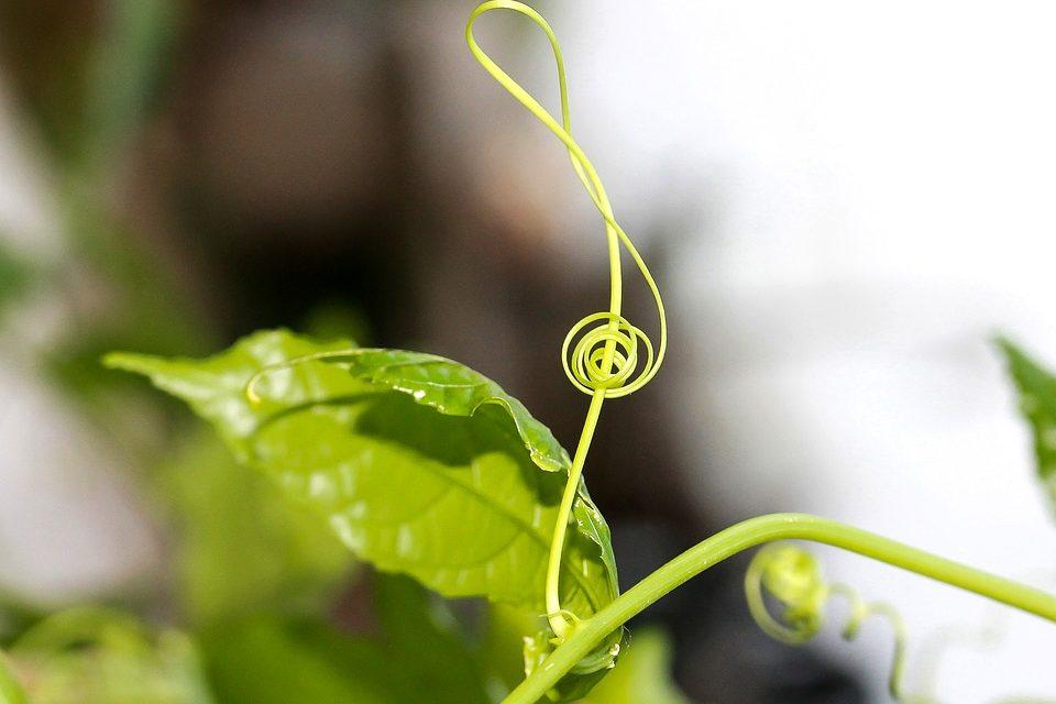 Kaktuszon pengetett dal és az éneklő fikuszok