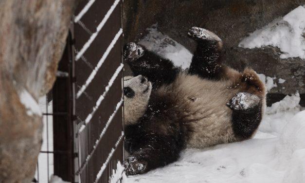 Kína óriáspandákat adott kölcsön Finnországnak