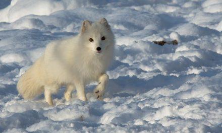 Ez a sarki róka talán még sosem látott embert?