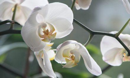 Így lett gyönyörűséges az orchideám, a tied is az lehet!