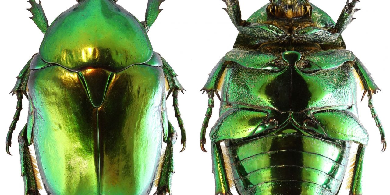 Óriási veszély fenyegeti a szaproxilofág bogarakat Európában