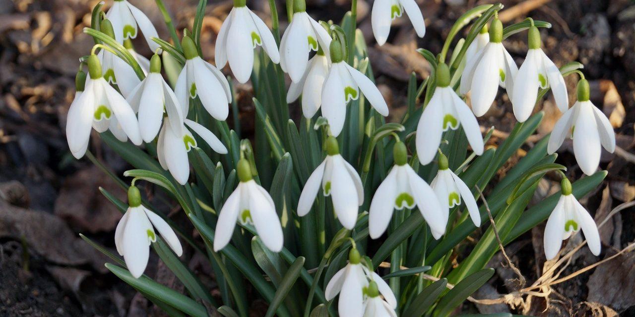 Így lesz hóvirágszőnyeged otthon – szaporítsd őket!