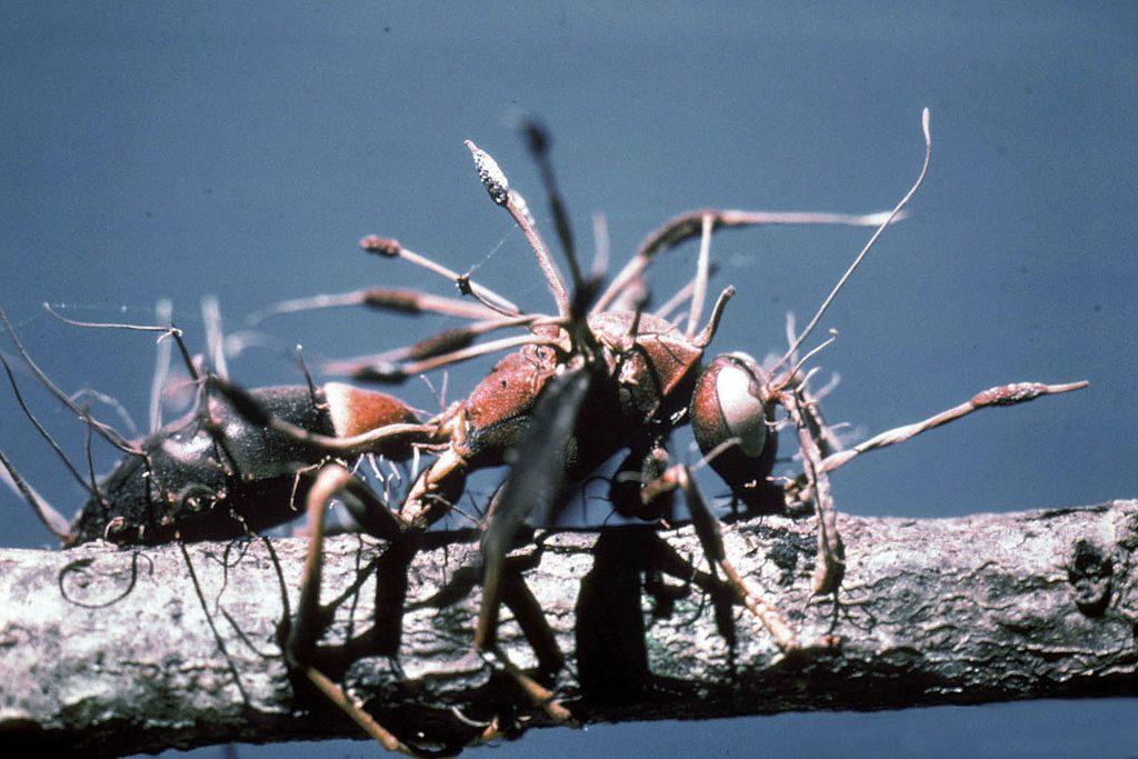 hangya gombás parazita